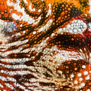 Détail de caméléon panthère