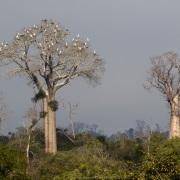 Baobabs et Ardeidae