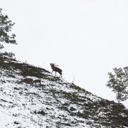 Cerf élaphe