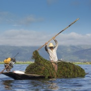 Lac Inle: récolte d'algues, base des jardins flottants