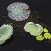 Lac Inle: Nénuphars recouverts de rosée
