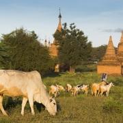 Bagan: Bétail broutant au milieu des pagodes