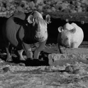 Rhinocéros noir: femelle et son jeune