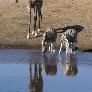 zèbre de Burchell et girafe