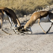 springbok: affrontement