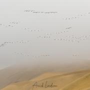 Vol de pélicans blancs