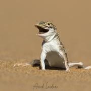 Lézard de Namibie