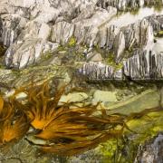Algues à marée basse