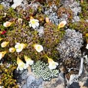 Végétation de toundra