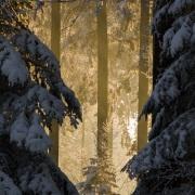 Forêt dans le Jorat