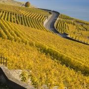 Vignoble - Lavaux