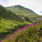 Epilobes, Alpes valaisannes