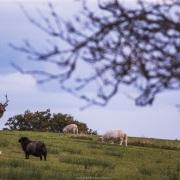 Cerf élaphe dans un pré de moutons