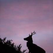 Cerf élaphe à l'aube