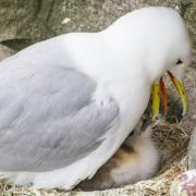 Mouette tridactyle régurgitant pour nourrir son poussin