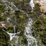 Mouettes tridactyles sur la cascade