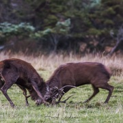 Combat de cerfs élaphe