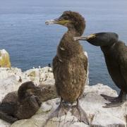 Cormoran hupppé et ses grands poussins
