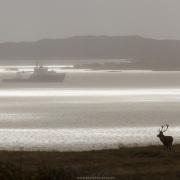 Cerf élaphe en bord de mer