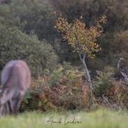 Cerf élaphe et biche