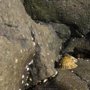 Coquillage sur les rochers à marée basse