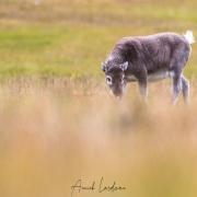 Renne du Svalbard: jeune de l'année