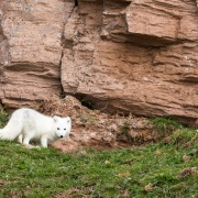 Renard polaire: anomalie de pelage puisque nous sommes en été et que le pelage est celui d'hiver!