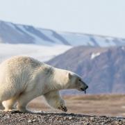 Ours polaire prenant la fuite lors de l'arrivée de l'ourse et ses oursons