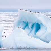 Mouettes tridactyles sur un iceberg