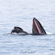 Baleine à bosse en mode nourrisage