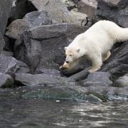 ourson polaire s'en allant chercher un oiseau mort dans l'eau