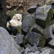 Rencontre improbable d'ourson de l'année dans un pierrier. Maman ourse était couchée plus haut et n'était visible que du bateau