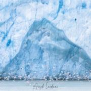 Mouettes tridatyles devant un glacier