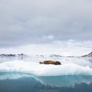 Morse sur un iceberg