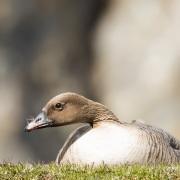 Oie à bec court sur son nid