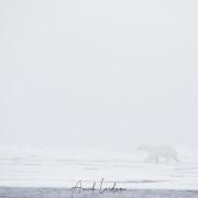 Le fantôme de la banquise: Ours polaire