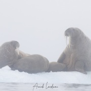 Morse dans le brouillard: femelles allaitant leur petit