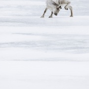 Renne du Svalbard