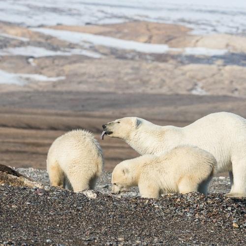 Ourse polaire et ses oursons sur une carcasse de baleine