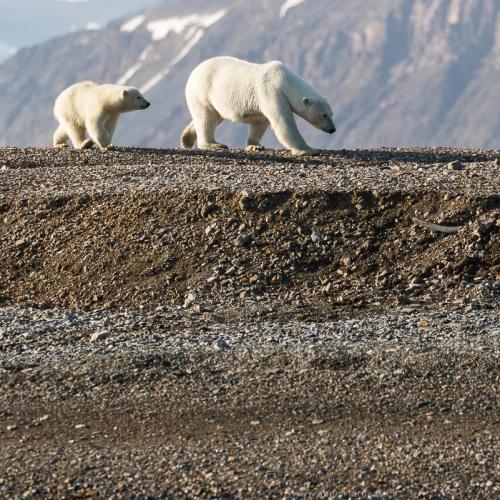 Ours polaire: arrivée de maman ours et sa progéniture