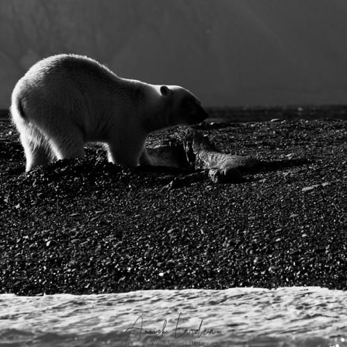 Ours polaire sur une carcasse de baleine