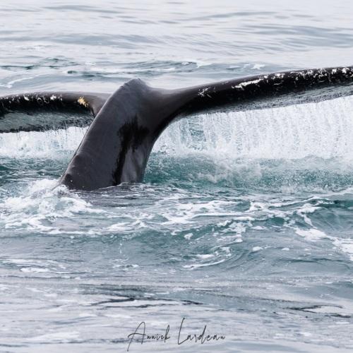 Baleine à bosse sondant