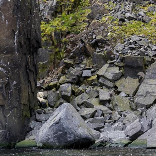 Rencontre improbable d'un ourson de l'année dans un pierrier. Maman ourse était couchée plus haut et n'était visible que du bateau