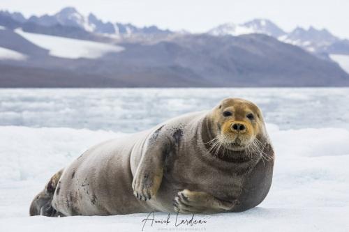 Phoque barbu sur son iceberg
