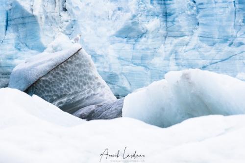 Goéland bourgmestre sur fond de glacier