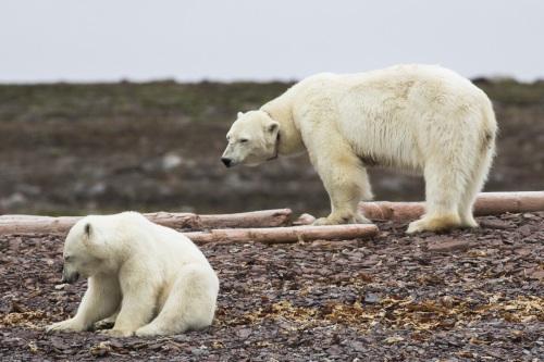Ourse polaire et son ourson