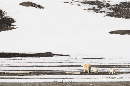 Ourse polaire et ses deux oursons de  6 mois