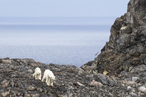 Rencontre à terre avec une ourse polaire et son jeune de 18 mois
