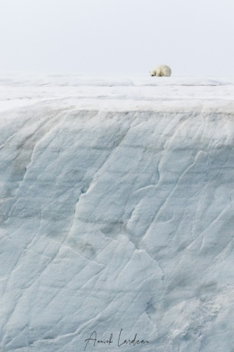 Improbable observation: Ours polaire sur la calotte glaciaire de l'ile du Nord-Est