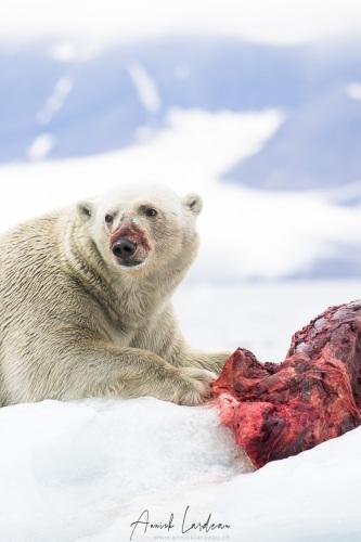Ours polaire se repaissant d'un phoque barbu